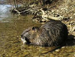Resembling a large rat, the Nutria typically weighs 11-20 pounds. Introduced for fur production from South America in the 1930s, the Nutria now inhabits wetlands along parts of the Gulf, Atlantic and Pacific coasts. With the ability to consume up to 25 percent of its body weight daily, the Nutria stresses or destroys habitat wherever it takes up residence.