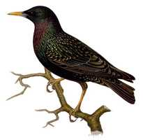 The European Starling arrived as part of one of the odder intentional non-native species introduction projects.  The Starling was part of a plan to introduce all birds mentioned in the works of Shakespeare to the U.S. The bird now calls the entire country home.