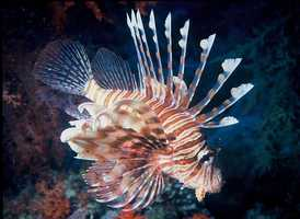 Two species of Lionfish have established themselves as significant invasive species off the East Coast. The Lionfish preys on native species and has venomous spines. A sting from the Lionfish can cause temporary paralysis of the limbs, heart failure and even death in humans.