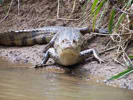 The Spectacled Caiman has been inhabiting two Florida counties since 1960. Susceptible to the cold, further northward expansion is not expected. Where these do reside, native species have another invader to contend with.