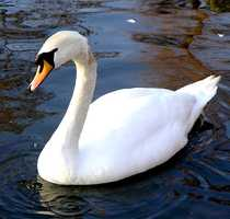 The beautiful Mute Swan is actually an invader from Europe.  Taking its name from behavior  that is less vocal than other swans, was introduced in the 1900s for agriculture.  Ever increasing populations severely reduce densities of submerged vegetation where they occur.