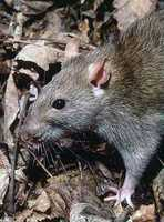While it is hard to believe today, the Brown Rat or Norway Rat did not always inhabit every human settlement. It did not reach the U.S. until the mid 1700's.  Able to exist on a widely varied diet, the Brown Rat is here to stay.