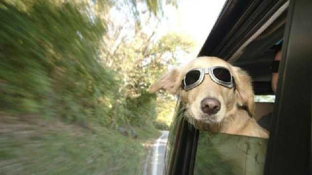 Dog in car with sunglasses