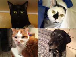 """Andy says he has always had animals in his life. """"Currently, I have a dog and three cats: Bergie the black lab, and the feline trio of Oreo (top right), Sammy (top left) and Harley (lower left),"""" Andy said."""
