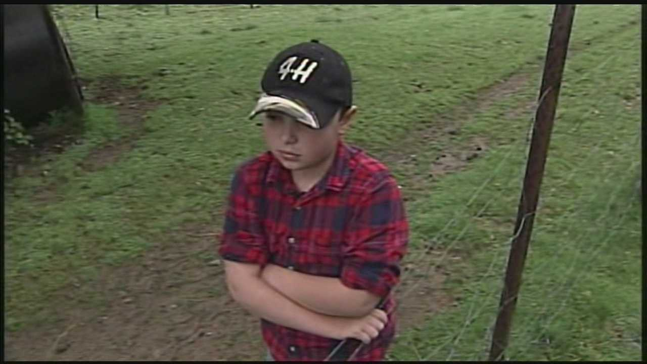 Boy hopes to find missing calf