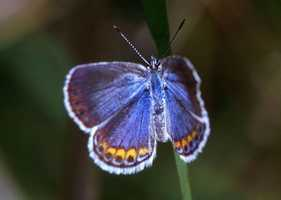 The karner blue was named the state butterfly in 1992.