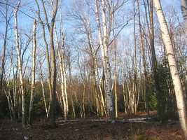 The white birch was named the state tree in 1947.