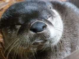 River otters can live 8 to 10 years in the wild and up to 20 years in captivity.