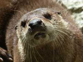 They have 2-3 offspring per litter. Baby otters are called kits.