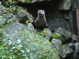 River otters are very playful and can be seen wrestling and chasing other otters both in and out of the water.