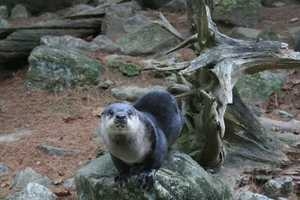 River otters can only live in clean water. Wild otters are an excellent indicator for a waterway's health.