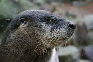 Otters are dark brown with a tan underside, throat and muzzle. Their coats have a dense, short and oily underfur and long and shiny guard hairs on top.