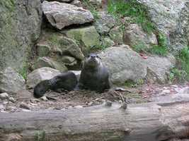 Wild otters live in rivers, streams, marshes, ponds, lakes and saltwater. A home range is usually 3-10 square miles, but could be up to 60.