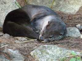 Otters can dive up to 60 feet underwater and hold their breath for 3-4 minutes.