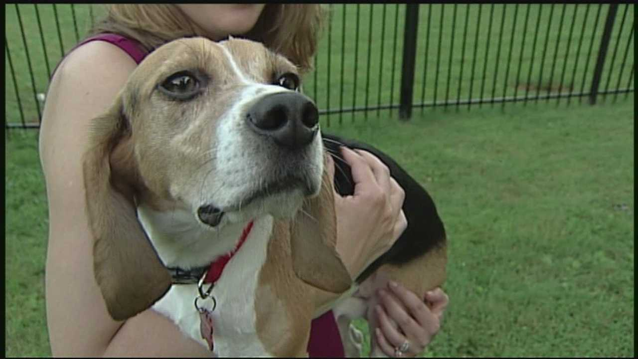 NH family welcomes beagle from laboratory