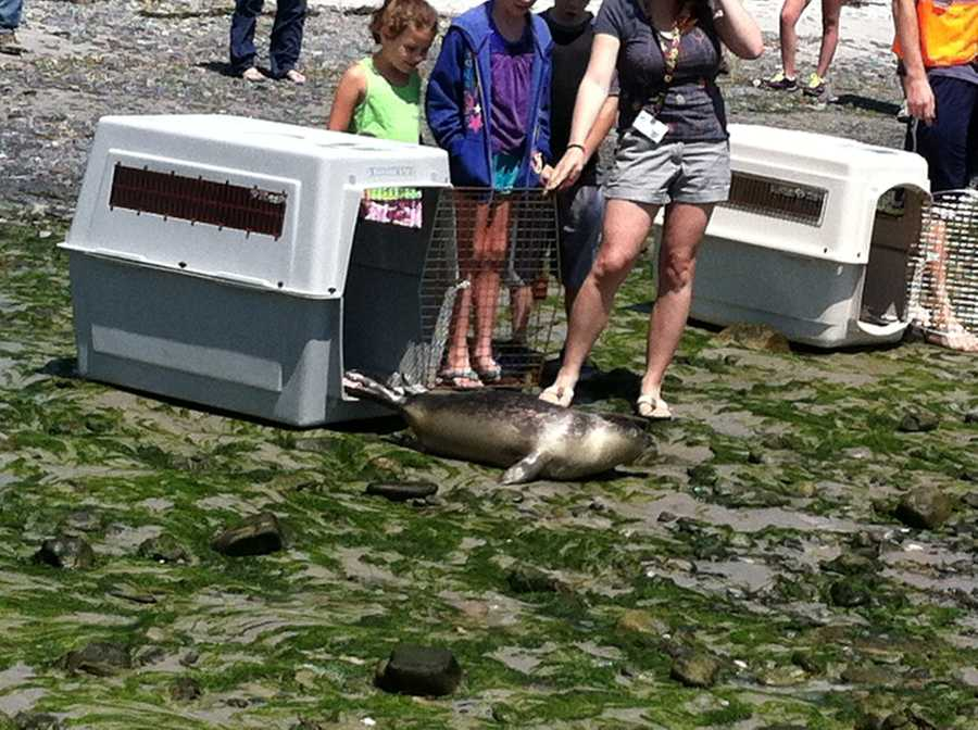 The seals were all rescued from beaches from Maine in April and May.
