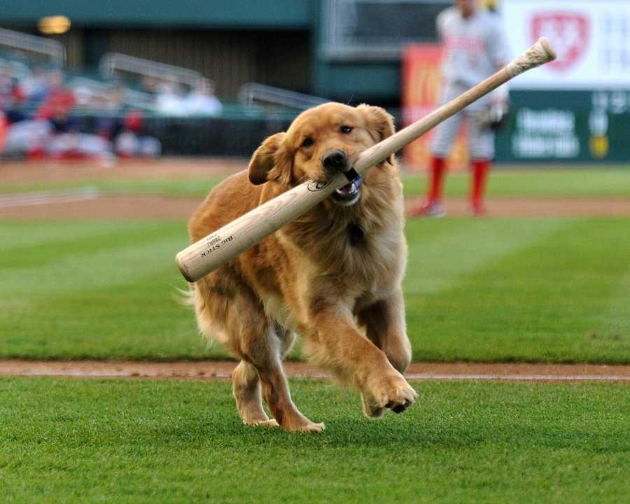 The team also has a loyal bat dog named Ollie.