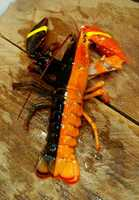 The odds of finding a split-colored lobster is one in-50 million.