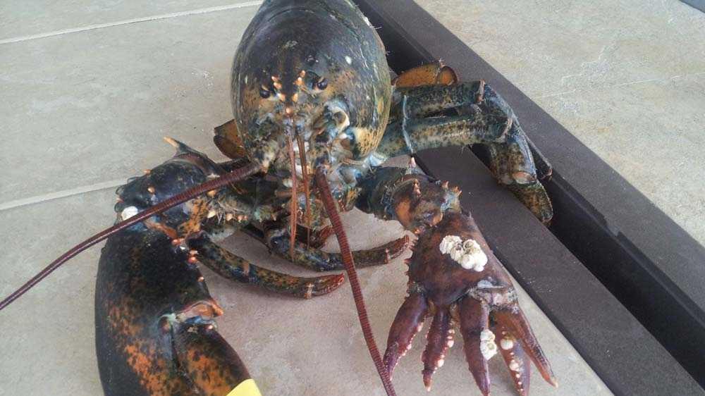 Six clawed lobster