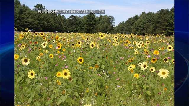 sunflowers-101-.jpg