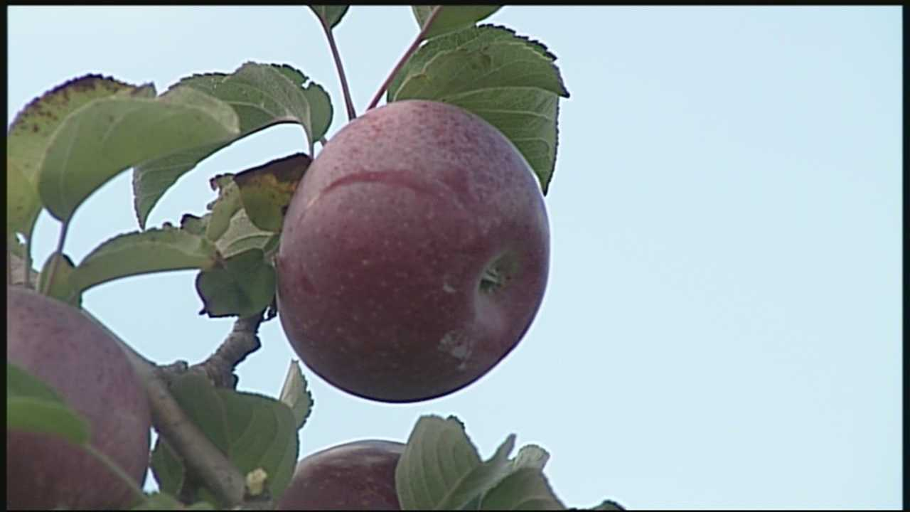 "Nick Spinetto hit the orchards today to see how people were enjoying this ""apple picking"" weather."