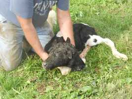 A two-headed calf was born on a Vermont farm. Photos courtesy of Marcia King.