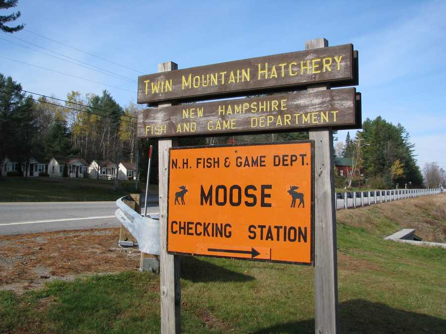 A 430-pound cow moose, was shot Monday morning in Carroll during the state's limited moose hunt. It weighed and was tagged and examined at the Fish and Game Hatchery on Route 3.