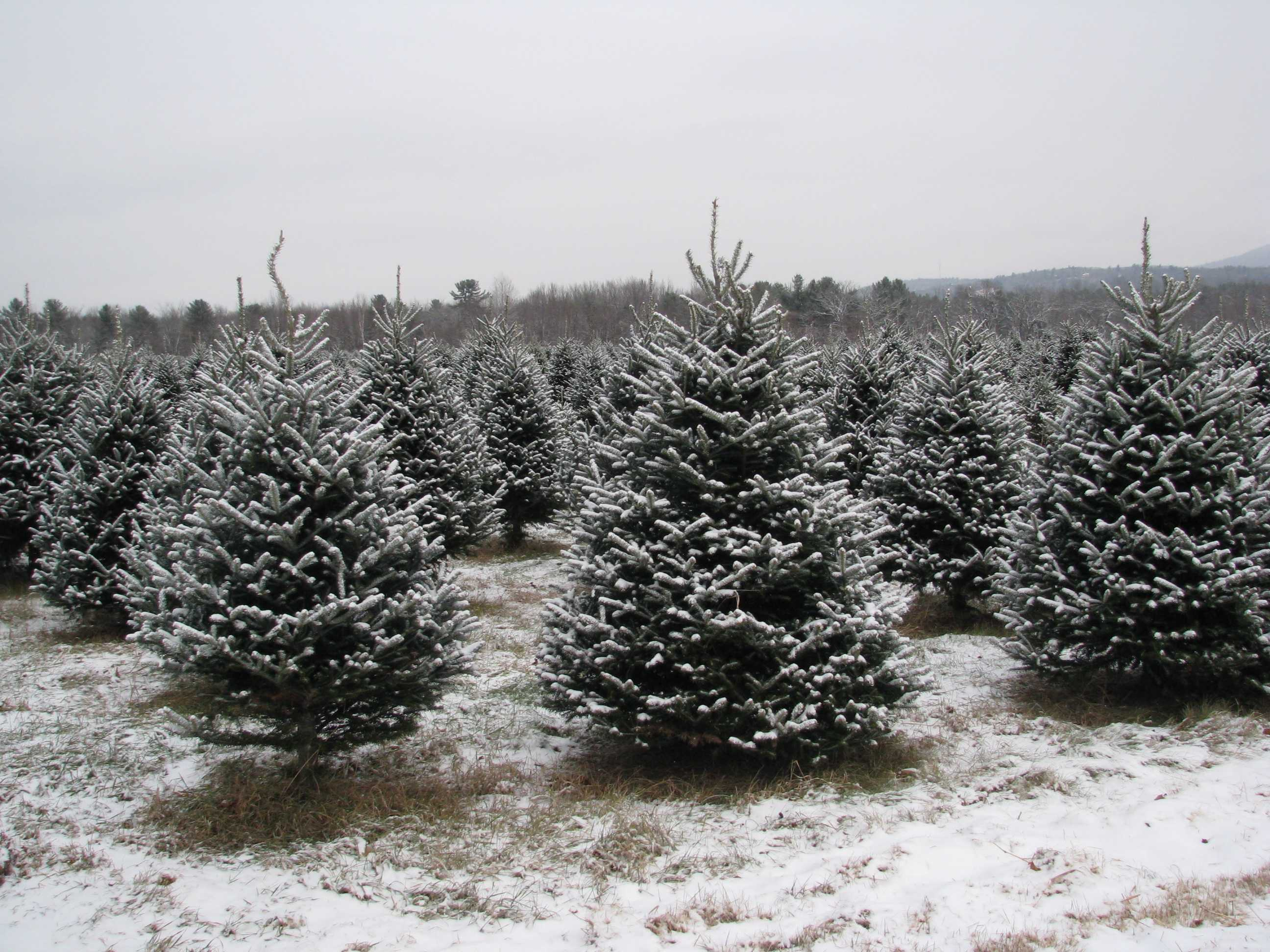 new hampshire christmas tree farms