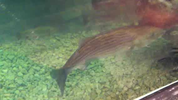 Fish swims in Bass Pro Shops tank