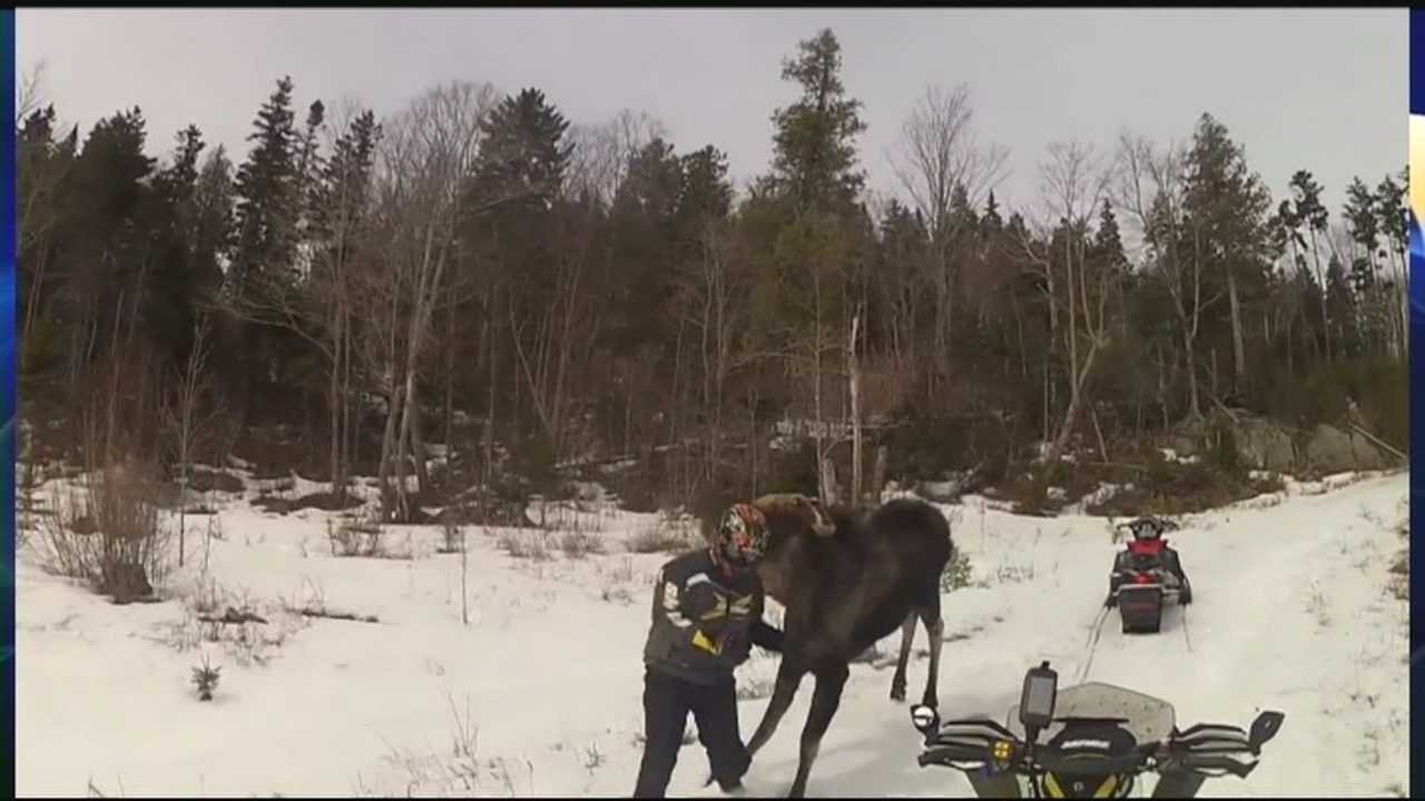 Charges Possible In Moose Encounter