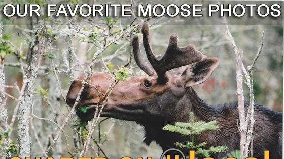 Take a look at 25 of our favorite moose photos snapped in New Hampshire and shared on u local.