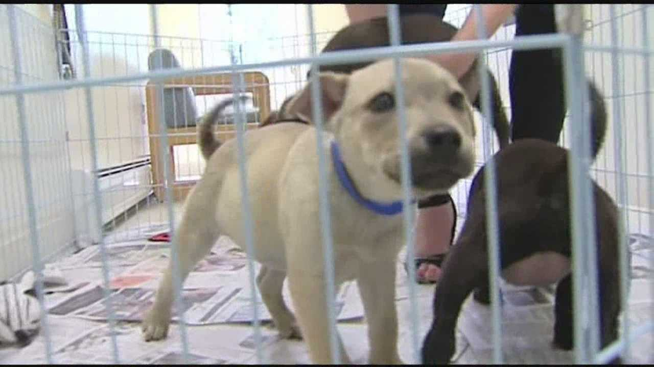 Elmore SPCA has a half dozen lab-shepard mixes up for adoption. If you're interested in adopting a puppy call 518-643-2451.