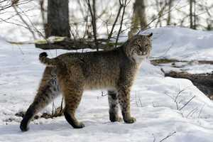 Don Lowe of Bow spotted a mature male hunting gray squirrels in his backyard and submitted a photo of him to the UNH/NH Fish and Game bobcat project.