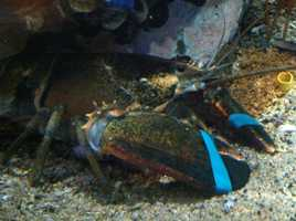A lobster's blood is colorless, but when exposed to oxygen it turns a bluish color.