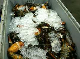 Fresh water is lethal to lobsters because they have salty blood and tissue.