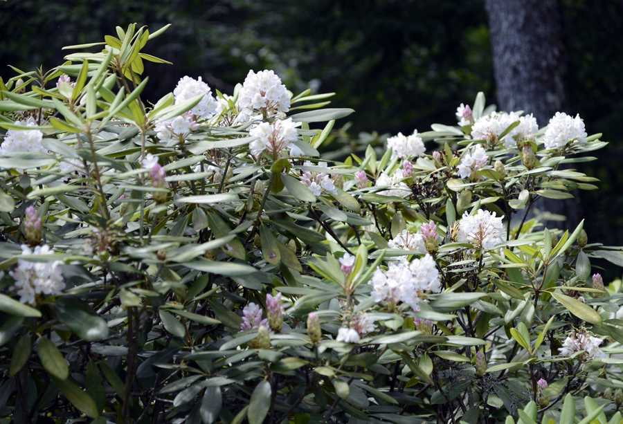 New Hampshire has a jewel in its southwest corner, a grove of ancient and natural rhododendrons now in full bloom.