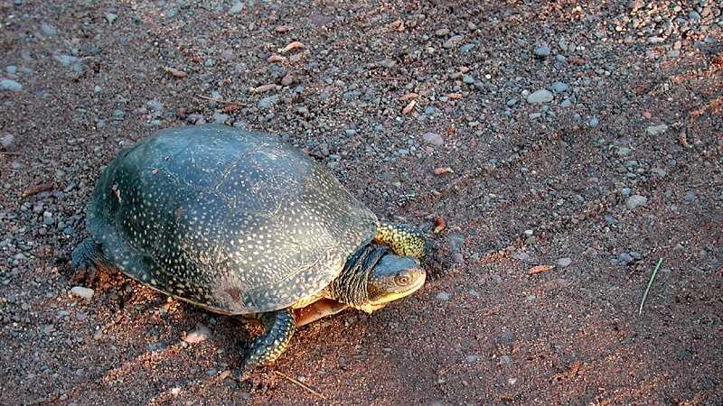 img-blanding's turtle.jpg