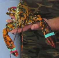 Calico lobsters appear approximately once out of 30 million. The rare lobsters are marked by their spotted shells, and this one even had spots on its antennae.
