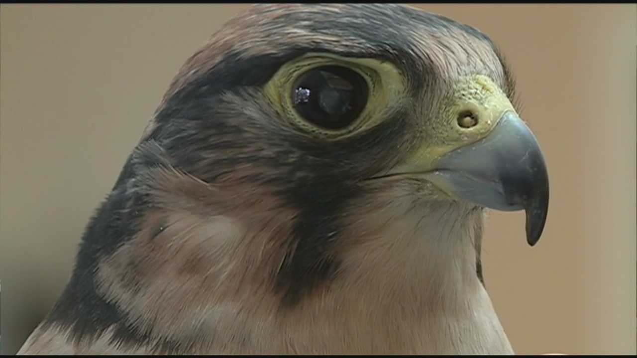 A blind falcon in New Hampshire has undergone landmark eye surgery.