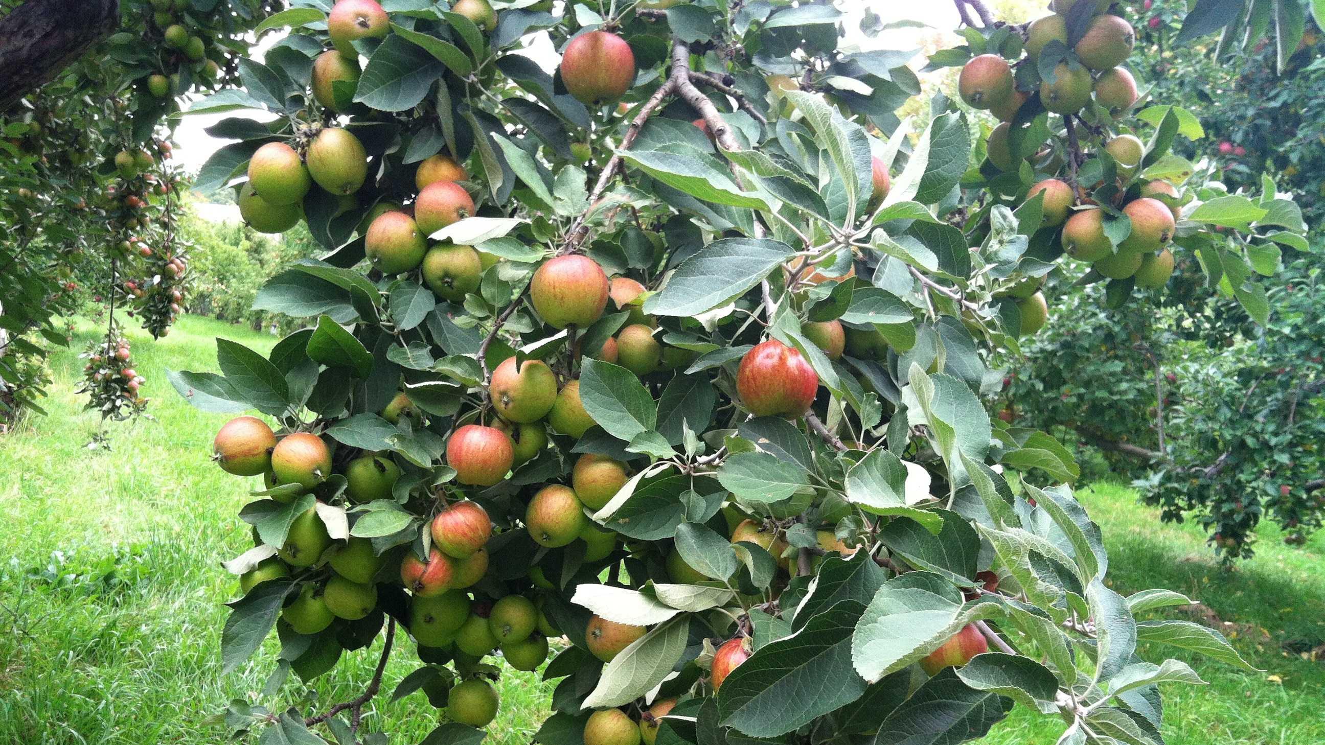 Ashton pippin bitter sweet cider apples.