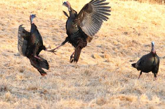 """Not only do they """"gobble, gobble,"""" but turkeys also cluck."""