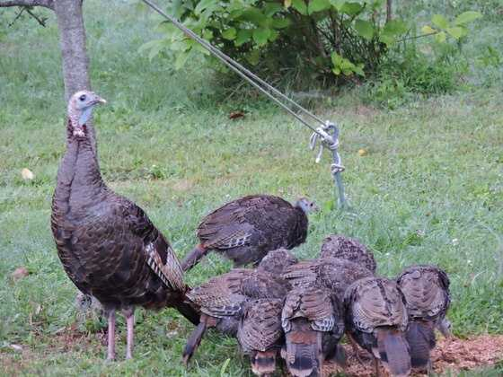 These are equal opportunity birds. Tom turkeys aren't the only ones to swagger and fan their tail feathers. Some hens strut their stuff, too.
