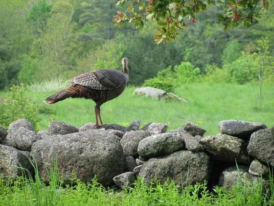 They're fast. Turkeys can run more than 12 miles per hour.