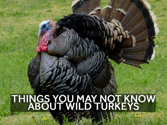 In honor of Thanksgiving this week, we've gathered nine facts about wild turkeys in New Hampshire that you may not know.