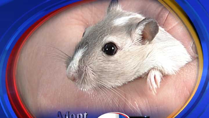 To adopt a pair of Gerbils contact the Animal Rescue League of NH:http://www.rescueleague.org &#x3B; Phone: 603-472-DOGS (3647)