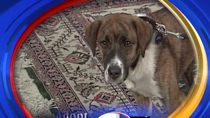 To adopt Becket contact the Animal Rescue Network of New England:603-233-4801 &#x3B; www.ARNNE.org