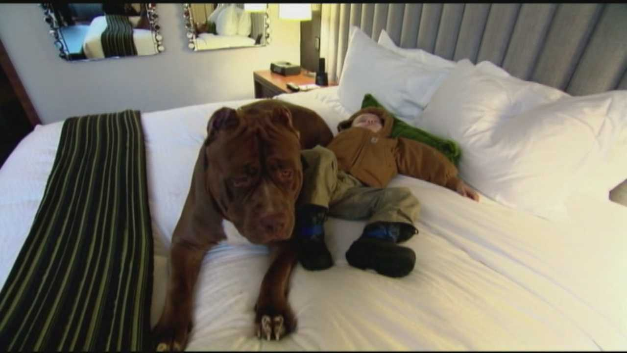 A New Hampshire pit bull named Hulk who weighs in at 175 pounds has become an Internet sensation. So ABC's Sara Haines took the gentle giant out for a spa day.