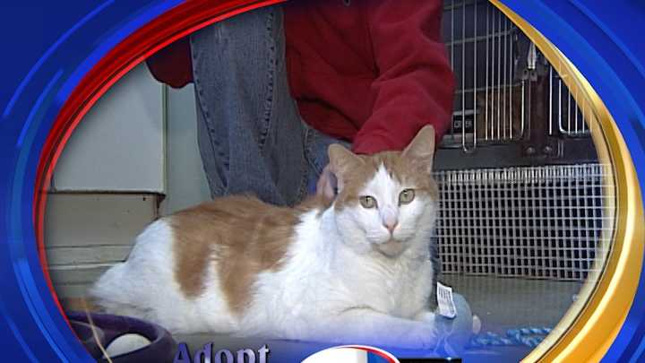 To Adopt Sanders contact the Manchester Animal Shelter: 603-628-3544&#x3B;www.ManchesterAnimalShelter.org