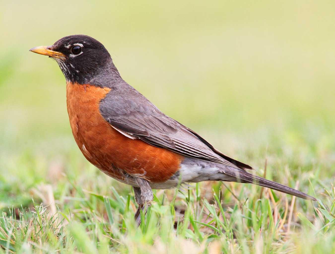 Colas de Birding: El Robin no es un signo de la primavera