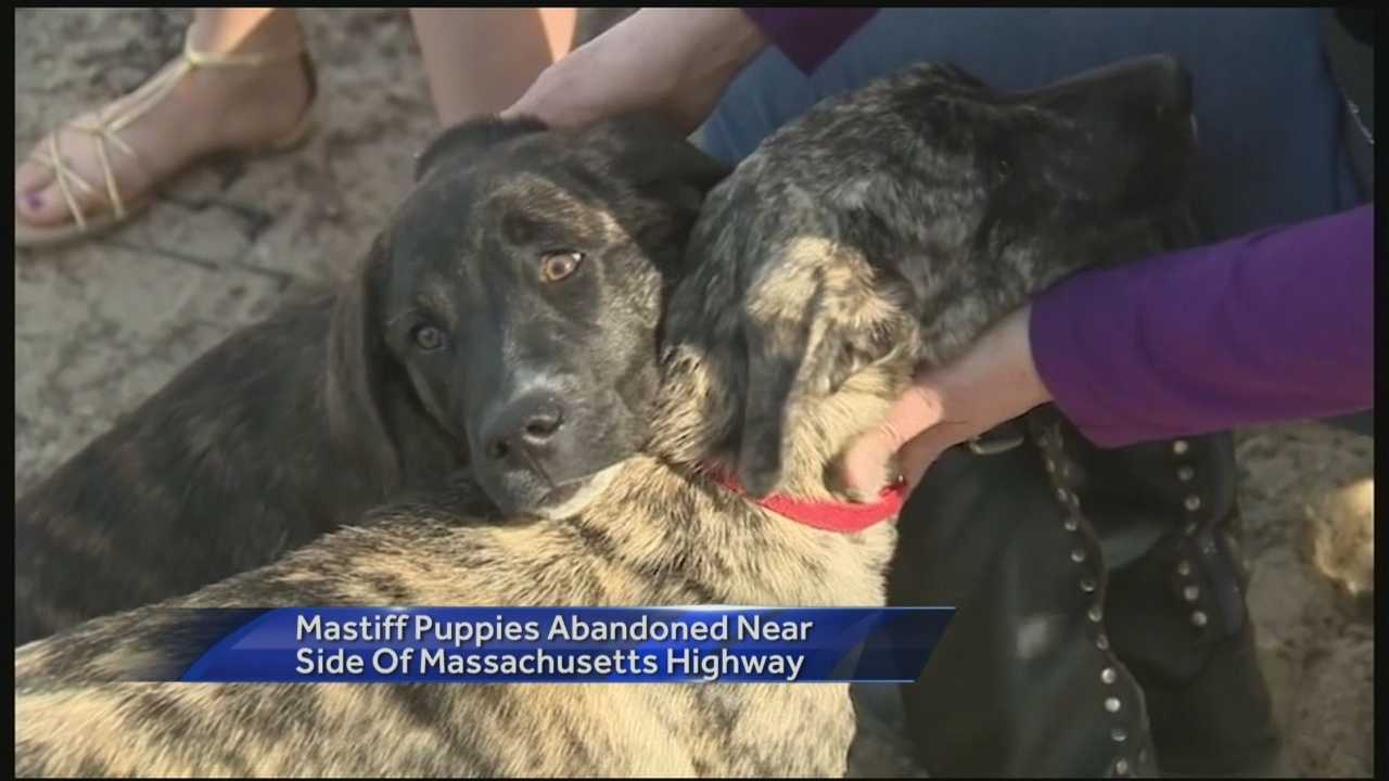 Two mastiff puppies were rescued by animal control officers in Massachusetts after being abandoned near a highway.